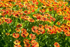 Flowering field of gaillardia flower Royalty Free Stock Photos
