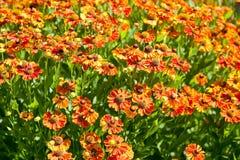 Flowering field of gaillardia flower Royalty Free Stock Photos