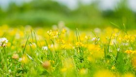 Flowering field in summer. Green meadow and blooming yellow flowers. Flowering field and grass. Green meadow and beautiful blooming yellow flowers. Summer royalty free stock photography