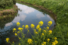 Flowering Field Mustard on the banks of a ditch Stock Photo