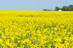 Flowering field of rape Royalty Free Stock Photos