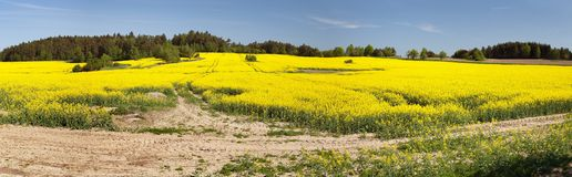 Flowering field of rapeseed - brassica napus Royalty Free Stock Photos