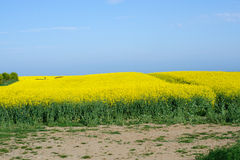 Flowering field with  rapeseed flower Stock Photo