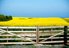 Flowering field of rapeseed flowers Royalty Free Stock Image