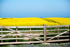 Flowering field of rapeseed flowers Royalty Free Stock Photo