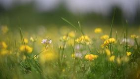 Flowering field in summer. Meadow and blooming yellow flowers sway in the wind. Flowering field in summer. Green meadow and blooming yellow flowers sway in the stock video