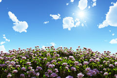 Flowering field under blue sky. Pink flower field under blue sky with small clear clouds, 3d illustration Stock Images