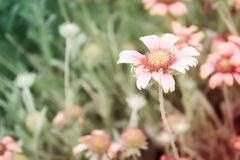 Flowering. In field, Vintage tone effect Royalty Free Stock Photography