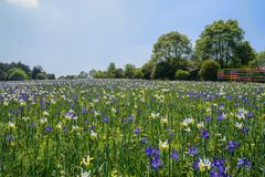 Flowering field before wooded housed at sunny spring noon Royalty Free Stock Photos