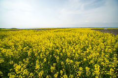 Flowering fields and blue sky in Pomorie, Bulgaria. Bulgaria - occupies a leading position among the Balkan countries on the cultivation of grapes and sunflowers royalty free stock images