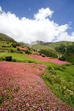 Flowering fields of Nepal Royalty Free Stock Photo