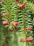 Flowering fir branch Stock Images