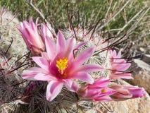 Flowering Fishhook Pincushion cactus in the wild Stock Photo