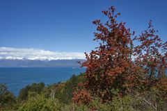 Flowering flame bushes along the Carretera Austral. Next to the azure blue waters of Lago General Carrera in Patagonia, Chile Royalty Free Stock Image