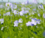 Flowering flax closeup. Blue flowers of flax in a large field Stock Images