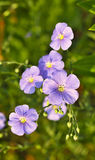 Flowering flax Stock Image
