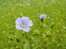 Flowering flax plant Royalty Free Stock Photography