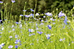 Flowering flax. Small blue flowers on a green field of flax Stock Images