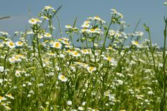 Flowering fleabane plants on meadow Royalty Free Stock Photo