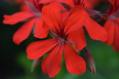 Flowering flower in the garden Royalty Free Stock Photos