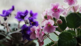 Flowering flowers in a pot on the windowsill in rainy weather stock video footage