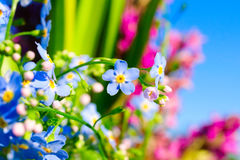 Flowering forget-me flower. Stock Image