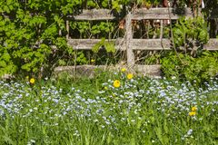 Flowering Forget me not. Forget-me in the meadow by a fence Stock Photography