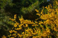 Popular in Europe shrub forsythia blooms beautiful yellow gold flowers Sunny spring day in the Park stock photo
