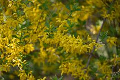 Popular in Europe shrub forsythia blooms beautiful yellow gold flowers Sunny spring day in the Park royalty free stock images
