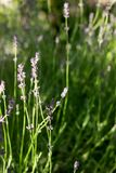 Flowering fragrant lavender in the rays of the morning or evening sun. royalty free stock photography
