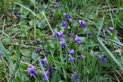 Flowering of fragrant violets in the park in the spring. Nature royalty free stock photo