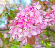 Flowering fruit tree. S in the garden stock photo