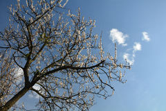 Flowering fruit tree against the blue sky and small clouds. Beautiful white flowers of an apple tree Stock Photography