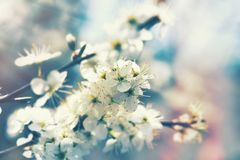 Flowering fruit tree, beautiful nature in spring. Beautiful flowering fruit tree in spring, branch of blossomed tree lit by sunlight Stock Images