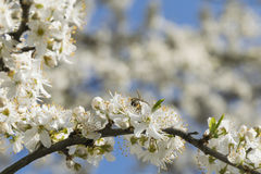 Flowering fruit tree and bee Royalty Free Stock Photos