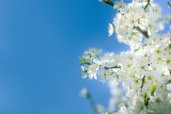 Flowering fruit tree, blossom fruit branch and blue sky. Beautiful nature Royalty Free Stock Photo