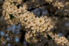Flowering fruit tree branch close up. A branch of a tree with white flowering. Lots of white flowers and yellow pollen. Blurred background of branches, blooming stock photo