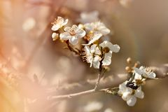 Flowering fruit tree - branch of fruit tree lit by sunlight. Beautiful nature Royalty Free Stock Photography