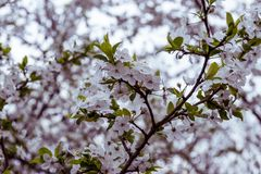 Flowering fruit tree branches in spring. Blurred background of green leaves and white petals with pollen stock photography