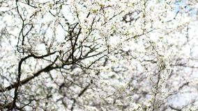 Flowering fruit tree in early spring.  stock footage