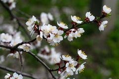Flowering fruit tree. Flowers of cherry tree in spring. Natural landscape. Floral design. Colorful foliage. Garden flower. Flowering fruit tree. Flowers of royalty free stock photo