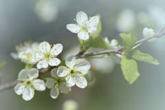 Flowering fruit tree macro. Plum flowers closeup in the garden in sunny day. Stock Images