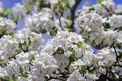 Flowering fruit tree Stock Photography