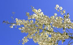 Flowering fruit tree. Ornamental white flowering fruit tree with blue sky background royalty free stock photography