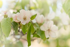 Flowering fruit tree - quince flower Royalty Free Stock Photos