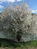 Flowering fruit tree Royalty Free Stock Images