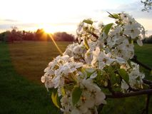The beauty of may flowering. Flowering fruit tree in the spring sunset stock photography