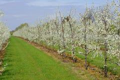 Flowering fruit trees Stock Photos