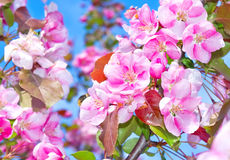 Flowering fruit trees. In the spring stock photography