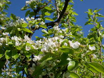 Flowering of fruit trees in early spring. Delicate pink flowers of pear. Royalty Free Stock Photo